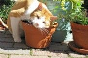 Img hierba gatera gatos felinos por que gusta narcotico droga animales mascotas listado