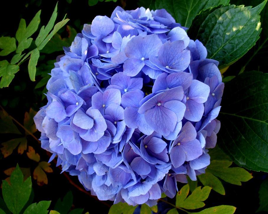 img_hortensia azul
