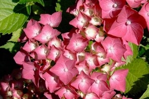 Img hortensia rosa art1
