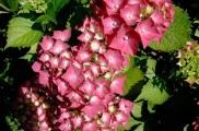 Img hortensia rosa list