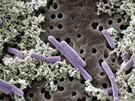 Img lactobacillus