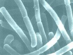 Img lactobacillus acidophilus11