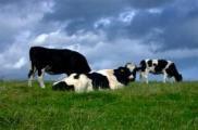 Img leche vaca listado