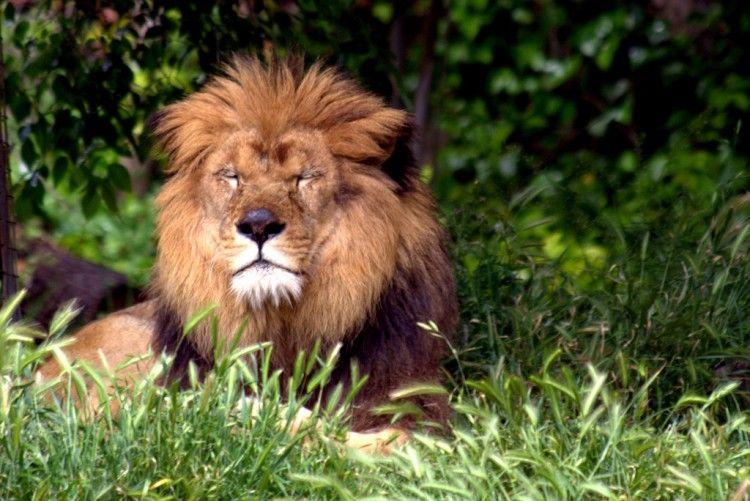 Img leon biodiversidad01