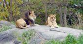 Img leones