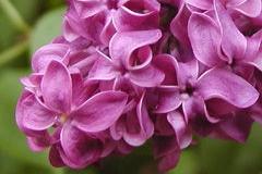 Img lilas rosas art1