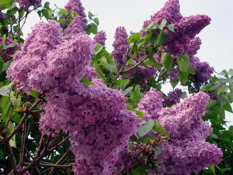 Img lilas