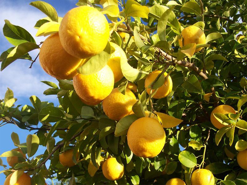 Img limonero limones