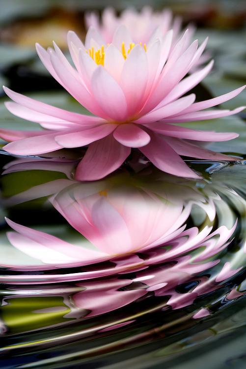 Img lotus