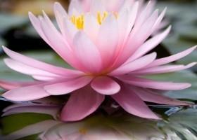 Img lotus art1