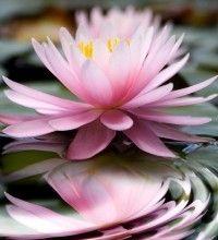 Img lotus art2