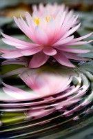 Img lotus art