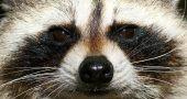 Img mapache hd