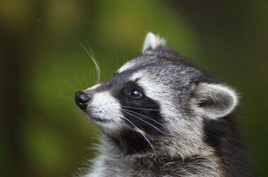 Img mapache listadog