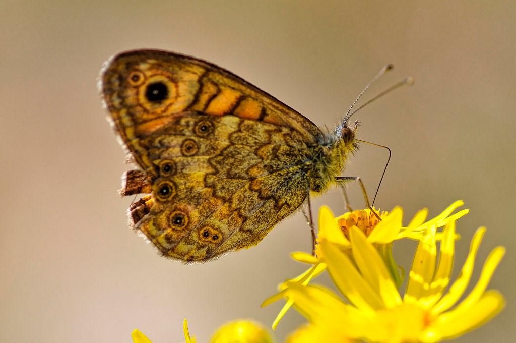 Img mariposa flor amarilla hd