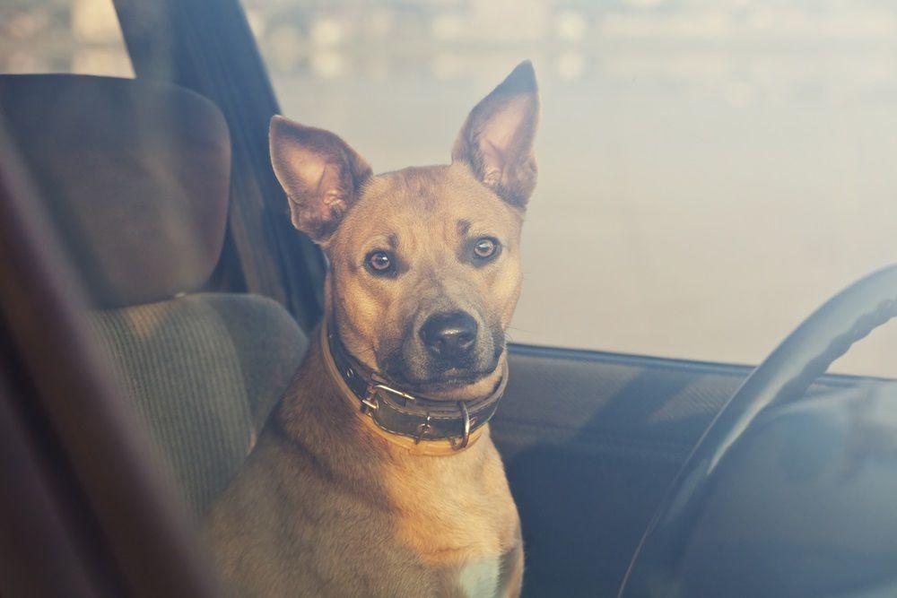 Img mascotas golpes calor coches