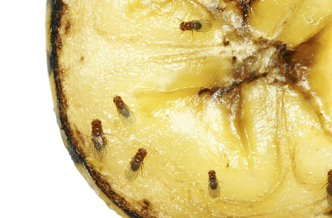Img moscas de la fruta hd