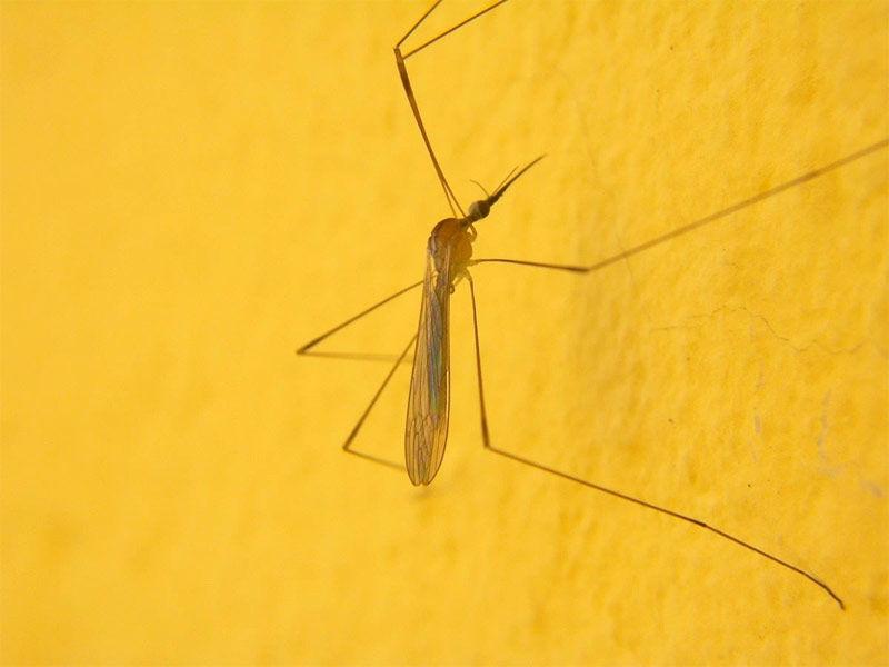 Img mosquito