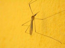 Img mosquito articulo