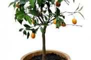 Img naranjo enano list
