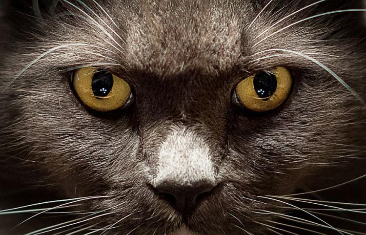 Img ojos gatos conjuntivitis art