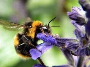 Img olor flores abejorro