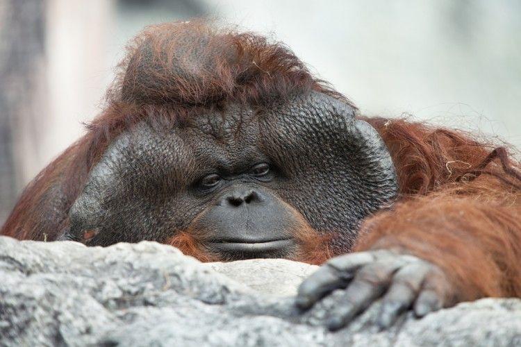 Img orangutanes peligro extincion art
