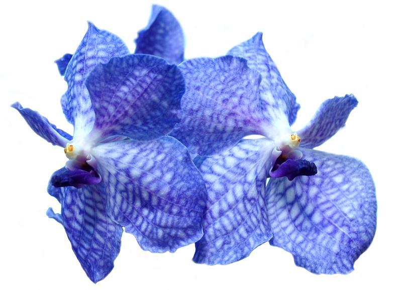 Img orquidea azul