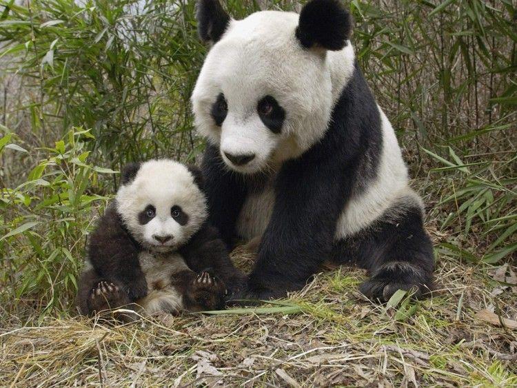 Img oso panda