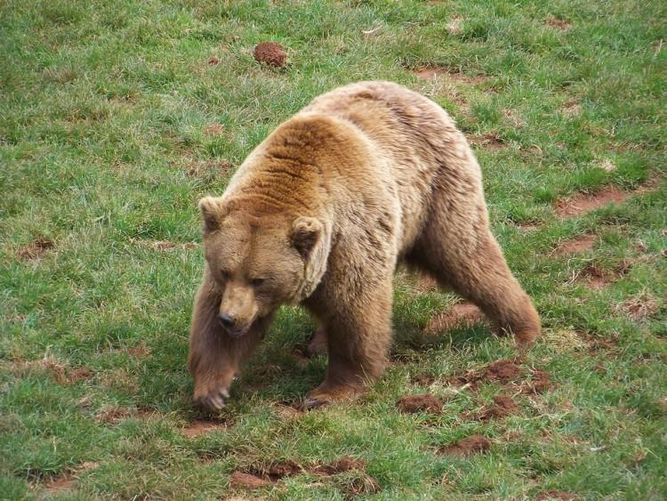 Img oso pardo