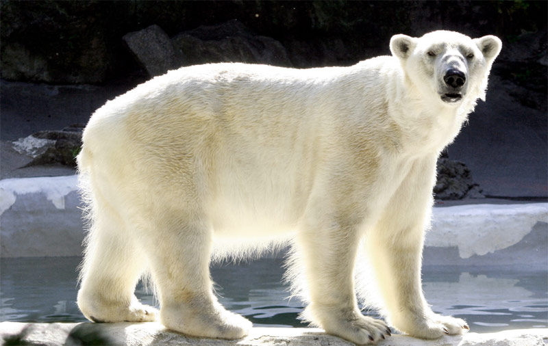 Img oso polar