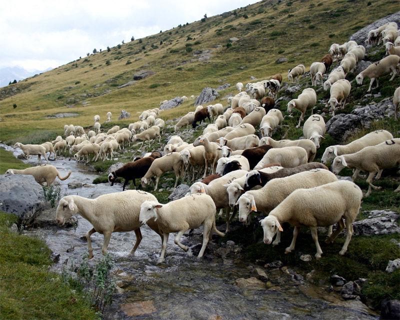 img_ovejas cabras