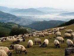 Img ovejas
