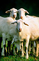 Img ovejas2