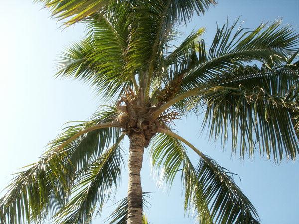 Img palmera