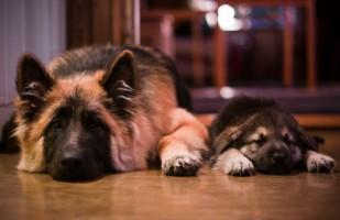 Img parto perros recuperacion cuidados peligros mascotas animales art