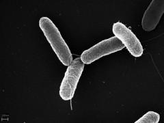 Img patogeno salmonella