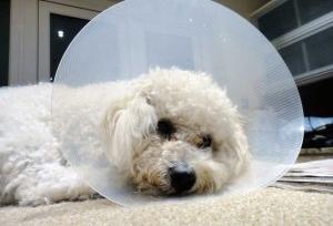 Img perra esterilizar cuidados peligros art