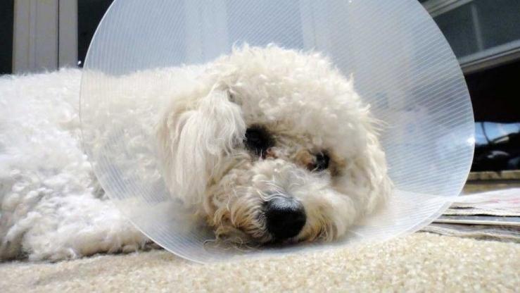 Img perras esterilizacion cuidados perligros art