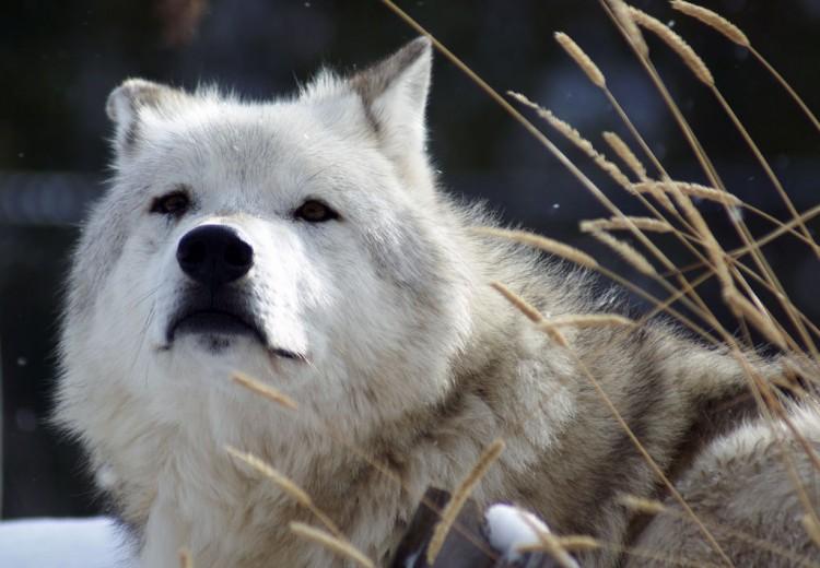 Img perro lobo art