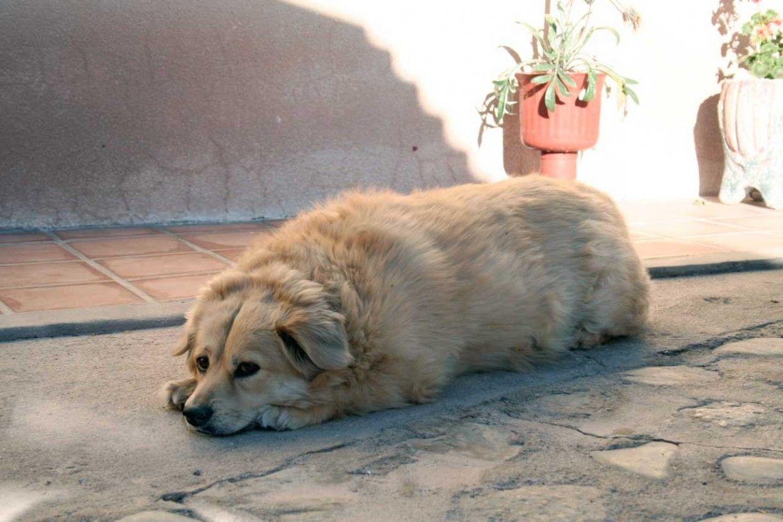 Img perro obesonuestra