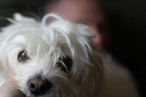 Img perro pequeno cuidados atenciones razas art