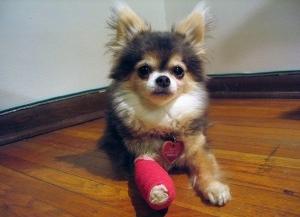 Img perro venda vendaje herida mascotas curar art