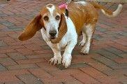 Img perro oreja grande listado