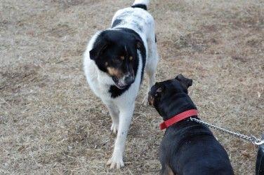 Img perros agresivos art