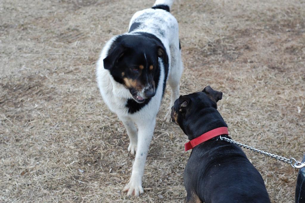 Img perros agresivos