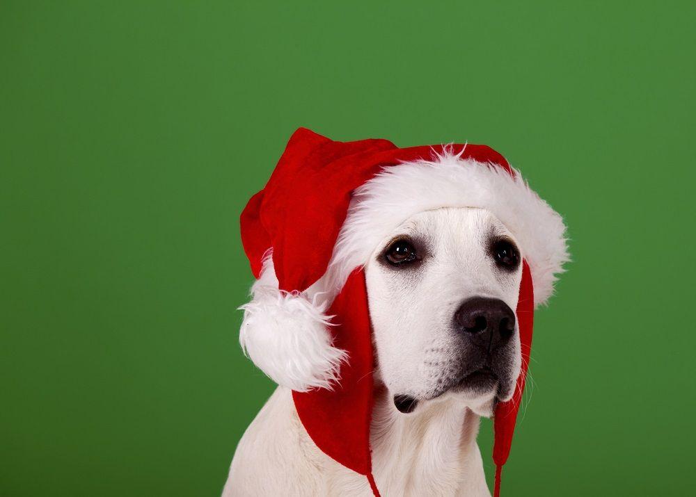 Img perros alimentos peligrosos navidad