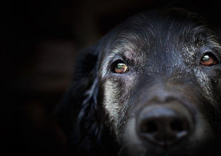 Img perros ancianos alzheimer mayores art