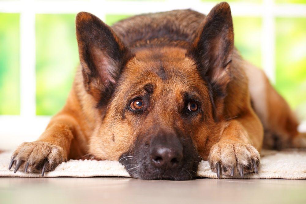 Img perros artritis enfermedades