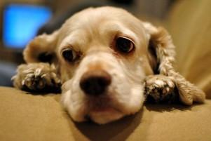 Img perros cancer quimioterapia mascotas animales salud enfermedades art